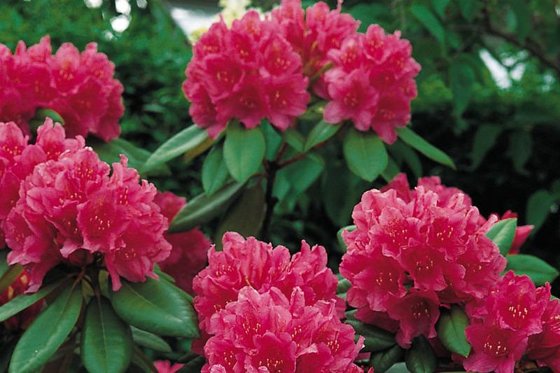 Conseil pour le Rhododendron